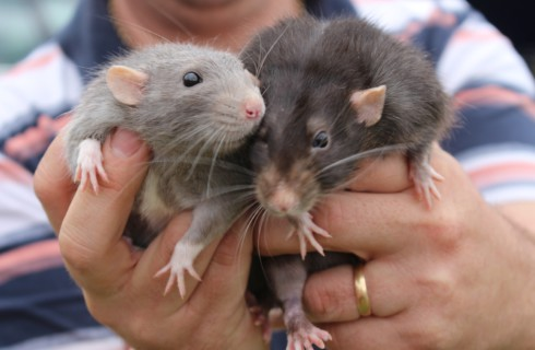 Крыс делает счастливыми щекотка