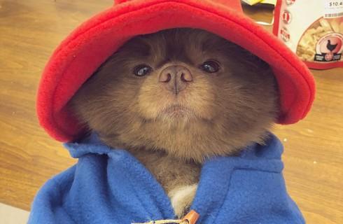 В мире нашлась милая собака Паддингтон