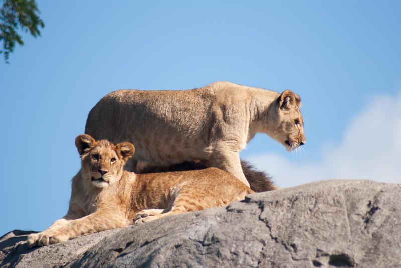 Топ-10 фактов о львах