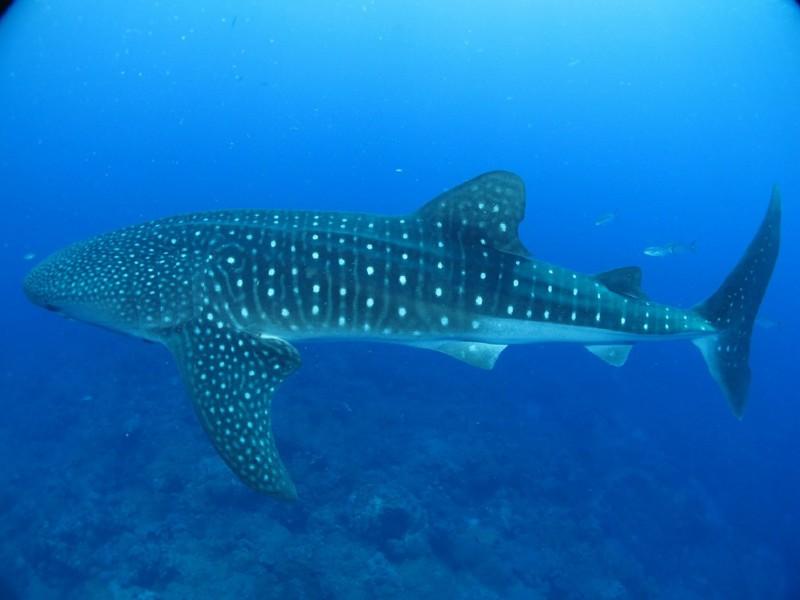 Топ-10 вещей, которые вы не знаете о китовых акулах