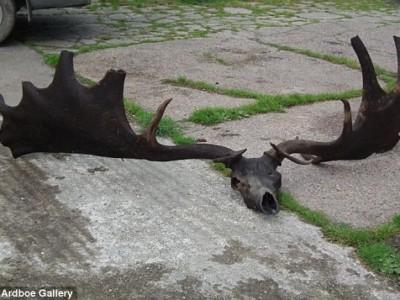 Череп и рога ирландского лося