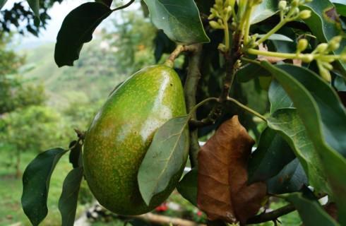 Как помочь организму полностью, съедая всего один авокадо в день