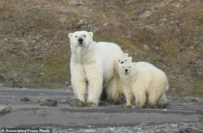 Численность полярных медведей радует ученых