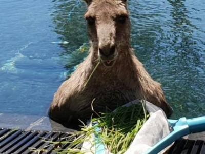 Кенгуру в бассейне